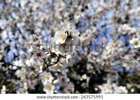Spring bloom of almond trees in orchard, Israel.