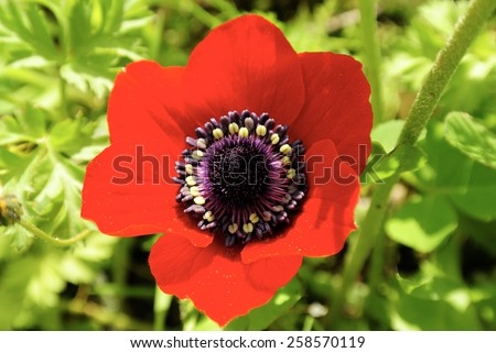 Spring bloom of red anemone flower on greenery background. - stock photo