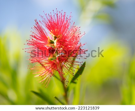 Spring bloom of the Australian wildflower, Callistemon Captain Cook, commonly called bottlebrush  - stock photo