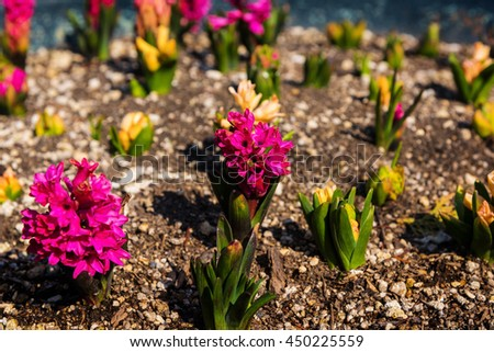 Spring Bloom Pink Hyacinth Flower on dirt in the garden