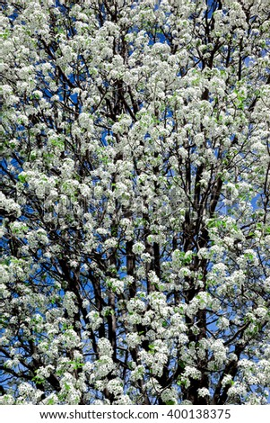 spring blooming apple tree branch with white flowers on a background of blue sky