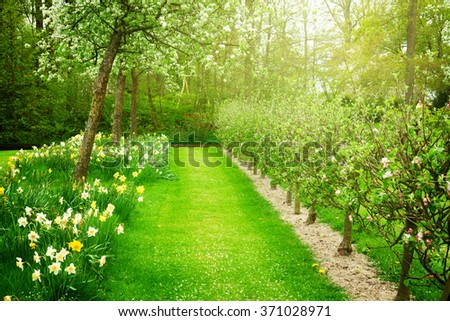spring  blooming apple trees garden and  fresh green grass, toned - stock photo