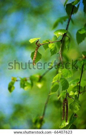spring blooming birch twig with green folliage - stock photo