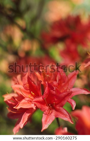 Spring blooming bush with red flowers - stock photo