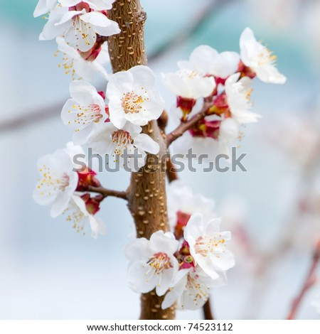 Spring blooming cherry branch - stock photo
