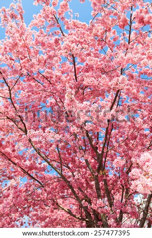 Spring blooming cherry flowers branch - stock photo