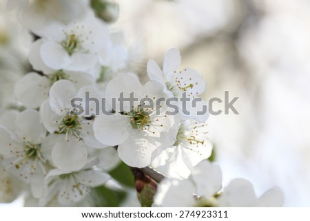 Spring blooming cherry. Petals on a flower cherry - stock photo