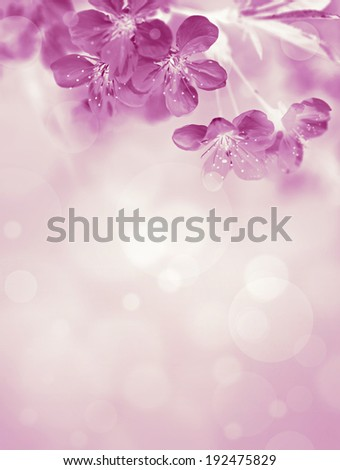 spring blooming cherry, pink monochrome photo - stock photo
