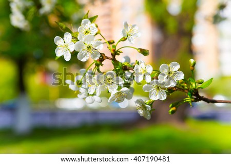 Spring blooming cherry twig - stock photo