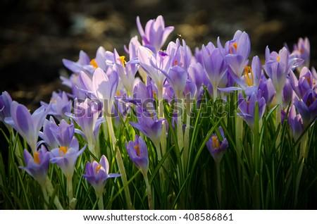 spring blooming crocus  - stock photo