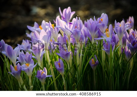 spring blooming crocus are blooming  - stock photo