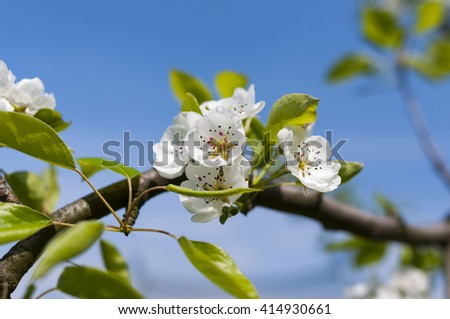 Spring blooming flowers of fruit on the background of sky - stock photo