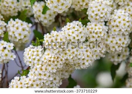 spring blooming guelder-rose shrub, round white flowers - stock photo
