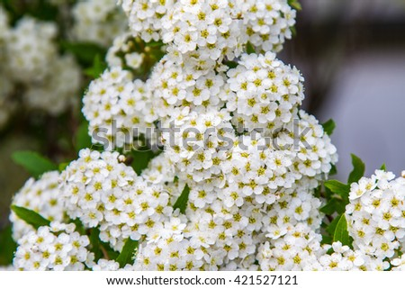 spring blooming guelder-rose shrub, round white flowers - stock photo