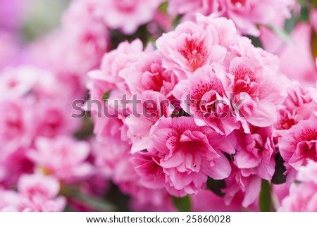 Spring blooming of Azalea Rhododendron - stock photo