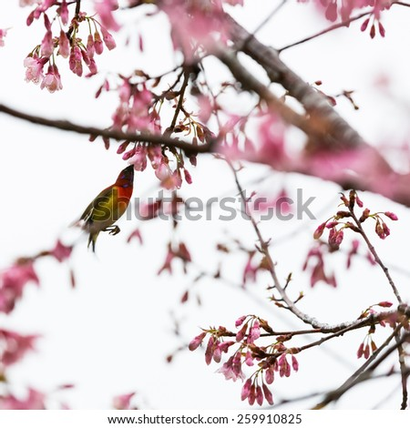 Spring blooming pink cherry on the sky background,with humming bird - stock photo