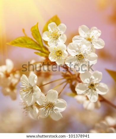 Spring blooming sakura cherry flowers branch - stock photo