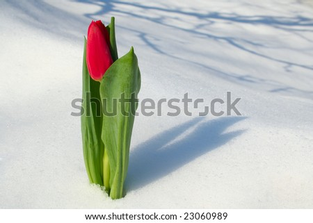 Spring blooming tulip coming up through the snow