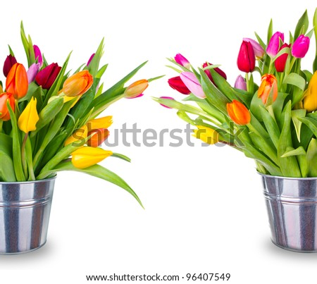 Spring blooming tulips in buckets, isolated on white background - stock photo