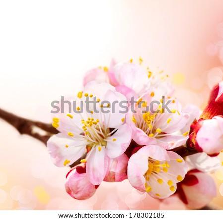 Spring Blossom. Apricot Flowers border art design - stock photo