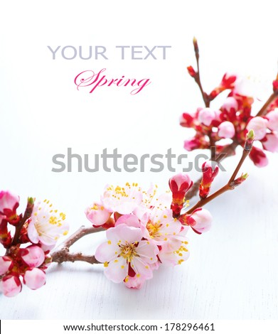 Spring Blossom. Apricot Flowers closeup on white wood background