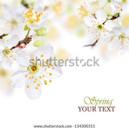 Spring blossom background with white flowers - stock photo