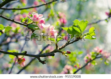 Spring blossom: branch of a blossoming apple tree on garden background - stock photo