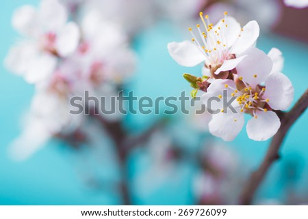 Spring blossom flowers apricot on wooden background