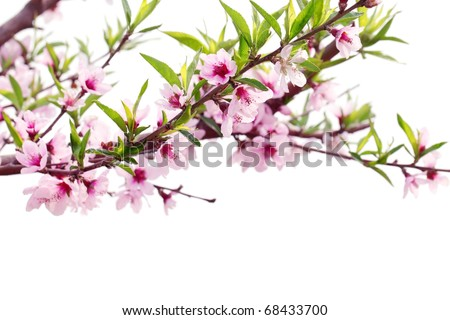Spring blossom isolated on white