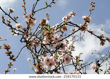 Spring blossom of almond tree flowers. - stock photo