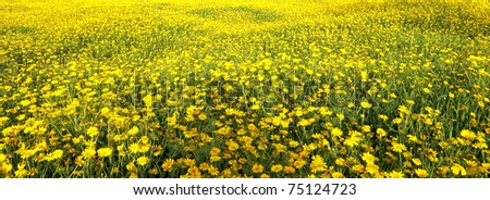 Spring blossom of yellow daisies - stock photo