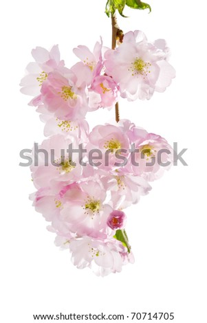 Spring blossom on white background