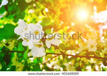 Spring blossoming apple flowers under bright sunlight - springtime floral background. Soft focus applied.  - stock photo