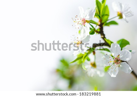 Spring blossoming apple tree - stock photo