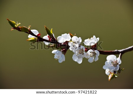Spring - blossoming apple tree - stock photo