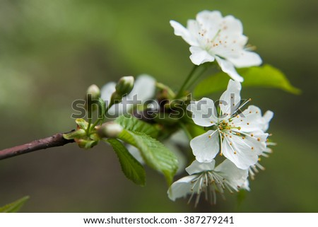 Spring blossoming of an apple-tree. Spring blossoming of cherry. The blossoming apple-tree. The blossoming cherry. The blossoming apricot. White flowers close up. - stock photo