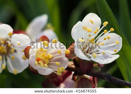 Spring blossoming of an apple-tree. Spring blossoming of cherry. The blossoming apple-tree. The blossoming cherry. The blossoming apricot. White flowers. - stock photo