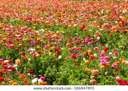 Spring blossoming of magnificent garden buttercups. - stock photo