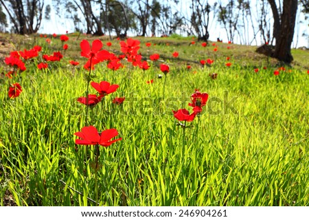 Spring blossoming of the red flowers (anemones) on a  green meadow - stock photo