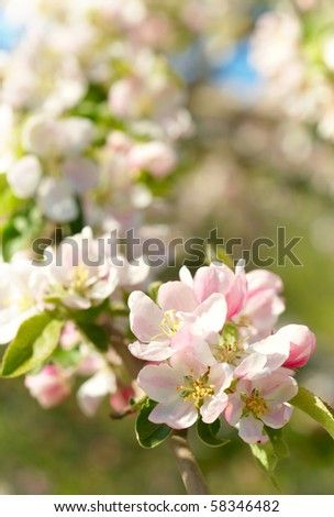 Spring blossoms - stock photo