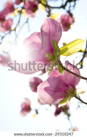 Spring Blossoms of a Magnolia on sunny sky background.