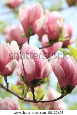 Spring Blossoms of a Magnolia tree - stock photo