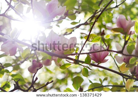 Spring Blossoms of a Magnolia tree with sun rays - stock photo