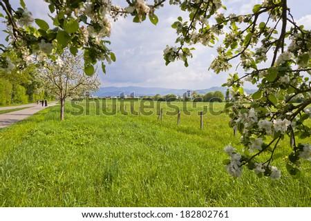 Spring blossoms of fruit trees on the street of Freiburg im Breisgau, Germany - stock photo