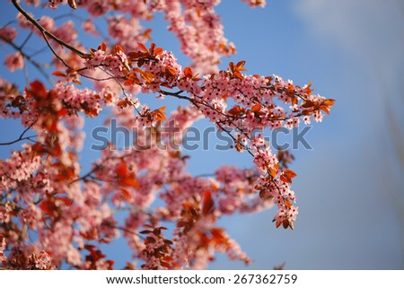 Spring blossoms on tree branches with blue sky in the background
