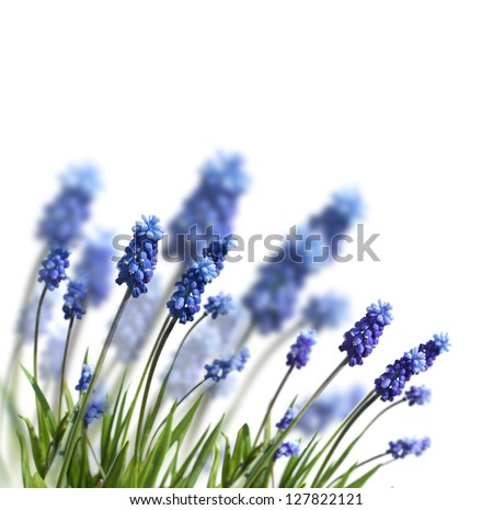 spring blue flowers isolated on white - stock photo
