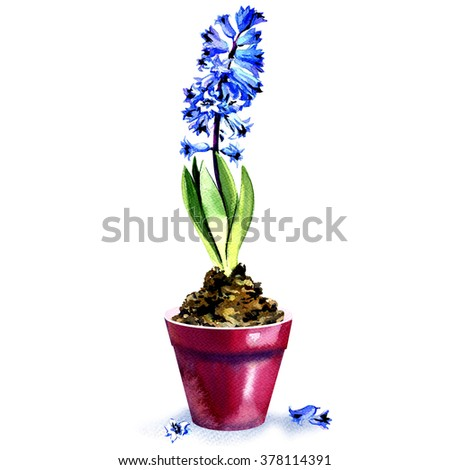 spring blue hyacinth in pot isolated on white background - stock photo