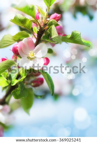 Spring blurred background with closeup on apple blossoms. Spring abstract backrgound. This image is blurred, there is no clear focus here.This image is toned.