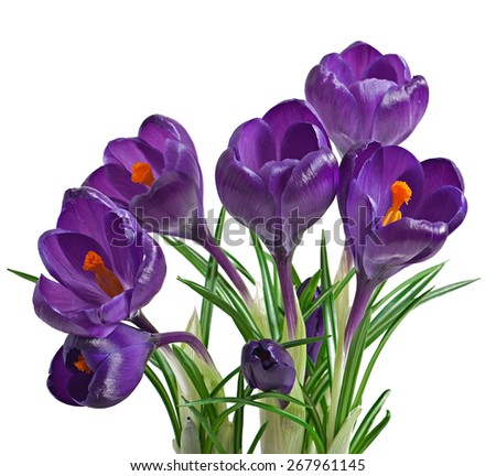 Spring bouquet of purple crocuses isolated on white background - stock photo