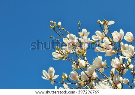 Spring Branch of a Blossoming Magnolia Tree with Pink and White Flowers and Buds on a Background of Blue Sky - stock photo